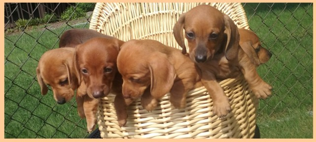 Cute Dachshund Puppies